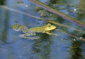 Delta du Danube : grenouille