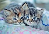 Deux petits chats aux yeux bleus