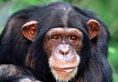 Portrait chimpanzé