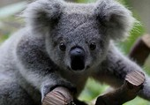 Un petit koala