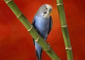 Une perruche bleue