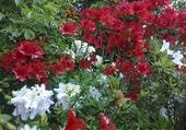 azalées du jardin de Giverny