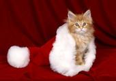 Un chaton dans le bonnet du Père Noël
