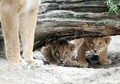 2 lionceaux