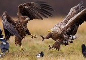 aigles en chasse