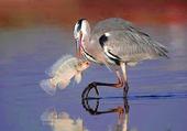 Echassier à la pêche