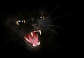 Chat noir en colère