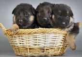 Trois chiots dans un panier
