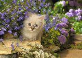 Chaton aux yeux bleux