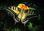 Puzzle Papillon sur un fleur