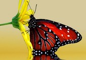 Un papillon qui butine