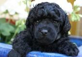 Un beau petit caniche noir