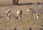 Puzzle antilope