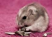 Mignon petit hamster
