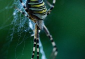 Puzzle araignée et rayures