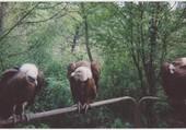 les vautoures