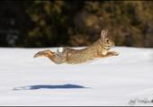 Puzzle Lièvre dans la neige