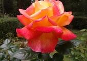 première rose du printemps
