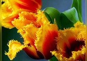 Tulipes perroquets