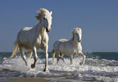 Baignade des chevaux