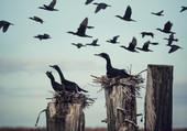 Les cormorans à aigrette