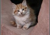 Le petit chat du désert
