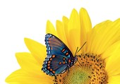 Puzzle Un papillon sur un tournesol