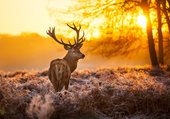 Puzzle cerf au coucher de soleil