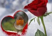 Rouge gorge amoureux