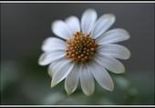 Marguerite du Cap