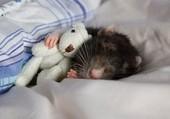 Bébé rat et sa peluche