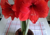 Royal amaryllis
