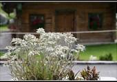 Bouqut d'edelweiss