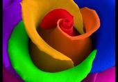 rose colorée