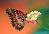 Puzzle Un magnifique papillon