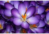 Un parterre du crocus violets