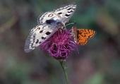 Papillons en duo