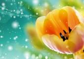 Première tulipe