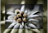 Joli edelweiss.