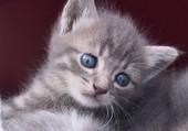 Puzzle Joli chaton aux yeux bleux