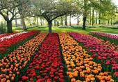 Tulipes dans un parc