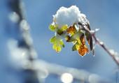 Dernières feuilles sous la neige