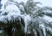 palmier sous la neige