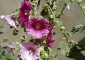 roses trémiaire