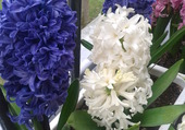 Bleues , blanche , rose  les jacinthes !