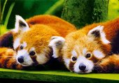 Puzzle panda roux