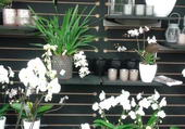 Mur d'orchidéés  .
