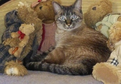 chat et peluches