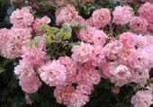 Roses Pompon .