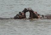 Puzzle Hypopotames amoureux